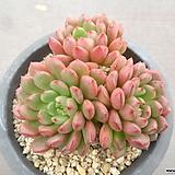 핑클루비 18-293 Sedeveria pink rubby