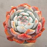 오렌지먼로(대) 18-307 Echeveria Monroe(Orange)