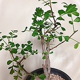 아프리카식물 디스칼라(녹색의 잎과 핑크색줄기가 너무 예쁜)화분그대로 
