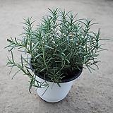 로즈마리/공기정화식물/허브25-30cm Rosemary