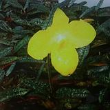 파피오페딜럼 아르메니아.행한두란.(노란색)..아주예쁩니다.꽃대있어요. 