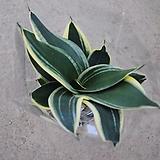 산세베리아 슈퍼바/공기정화식물/25cm내외|Sansevieria