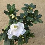 아젤레아/5개묶음/서양철쭉/공기정화식물/20cm내외 