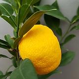 유자나무(과실수) 열매가 맺어 있어요 꽃이피면 향기도 무지 좋아요|
