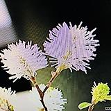실목련 (실꽃풍년화)실처럼 나오는 독특한 꽃에선 근사한 향기가 납니다|