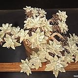 블러프레쳐스 27두|Dudleya farinosa Bluff Lettuce