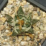 Ariocarpus scapharostrus(용각목단-11.18)|