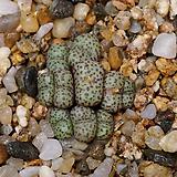 Conophytum obcordellum ssp.-10두(코노 옵코델룸11.18)|