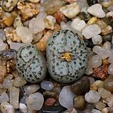 Conophytum obcordellum stenandrum CR1156(Sur de Garies)-2두(코노 스테난드럼11.18)|