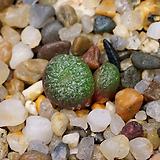 Conophytum fulleri LAV.23863-2두(코노피튬 풀러리11.18)|Conophytum