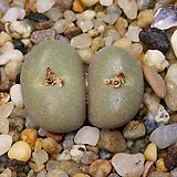 Conophytum Firesphere-2두(maughanii x helmutii코노 파이어스피어11.18)|