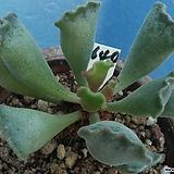 640 영락|Adromischus cristatus var. clavifolius