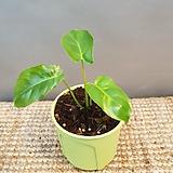 필로덴드론(수입식물) 오는과정에서  상처가 있을수 있어요 (모든식물은 뿌리가 중요해요)|Echeveria Riga