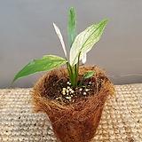 수입스파트필름(수입식물)잎이 무지 독특해요|
