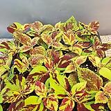 콜레우스페인티드레이디(소품)잎색상이  아주특히해요|