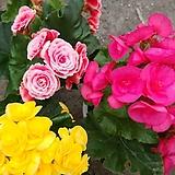 꽃베고니아-지속적으로피는꽃대품|Begonia