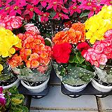 꽃베고니아3개묶음 대품|Begonia