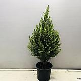 가문비나무 (대품) 노지 베란다 월동 가능하며 집에서 크리스마스 트리로 사용하셔도 좋습니다.|Echeveria Agavoides Christmas