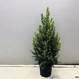 가문비나무 (중품)노지 베란다 월동 가능하며 집에서 크리스마스 트리로 사용하셔도 좋습니다.|Echeveria Agavoides Christmas