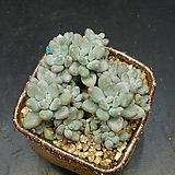 성미인-20두(11.19)|Pachyphytum oviferum