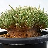 알스토니 백화 대품 Avonia quinaria ssp Alstonii