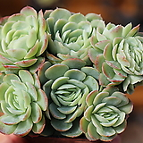 크림베리 철화|Echeveria cream berry