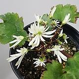 대문자초(흰색)|