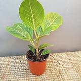 뱅갈고무나무(한목대) 10센치|Ficus elastica