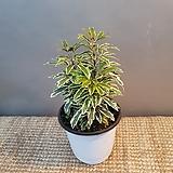 아라리오(한목대)15센치 잎이 찰랑찰랑해요|