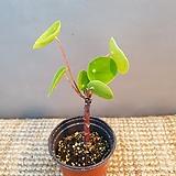묵은둥이필레아(외목대) 10센치 (잎이 잘생기는 아이에요 ) 뿌리가 중요해요|