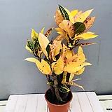 황금 크로톤|Codiaeum Variegatum Blume Var Hookerianum