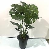 몬스테라/85cm/중대품/공기정화식물