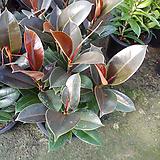 멜라니고무나무-공기정화탁월|Ficus elastica