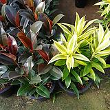 스리랑카와멜라니고무나무-공기정화탁월한2개묶음|Ficus elastica