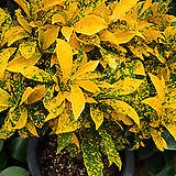 황금크로톤-공기정화탁월|Codiaeum Variegatum Blume Var Hookerianum