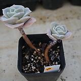 (11月)러블리로즈28|Lovely Rose