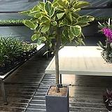 뱅갈고무나무/150cm/공기정화식물|Ficus elastica