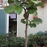 유럽형떡갈고무나무(외목대로 수형이 반듯한 아이 입니다!),  [운임비포함-서울,경기지역만 직배송 가능합니다~]|Ficus elastica