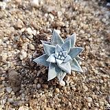 화이트그리니 349 Dudleya White gnoma(White greenii / White sprite)