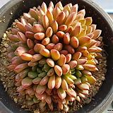 핑클루비 군생 373 Sedeveria pink rubby