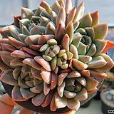 알바뷰티  374 Echeveria Alba Beauty