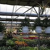 비비파라 플렉수오사/공기정화식물/1m 3cm 