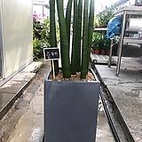 스투키/공기정화식물/집에서키우기편한/시멘트화분|Sansevieria Stuckyi