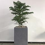 아라우카리아/완성화분/관엽식물/실내에서키우기좋은/개업식|