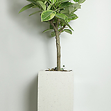 뱅갈고무나무 사각화이트(대형)|Ficus elastica