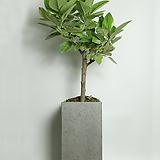 뱅갈고무나무 사각그레이(대형)|Ficus elastica