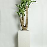 행운목 사각화이트(대형)|happy tree