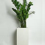 금전수 돈나무 사각화이트(대형)|Zamioculcas zamiifolia