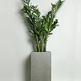 돈나무 금전수 사각그레이(대형)|Zamioculcas zamiifolia