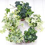 실내공기정화식물 실내관엽식물 아이비모음|Heder helix